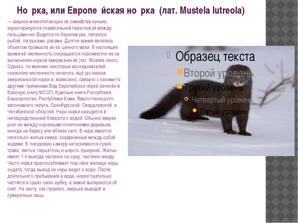 Но́рка, или Европе́йская но́рка (лат. Mustela lutreola) — хищное млекопитаю...