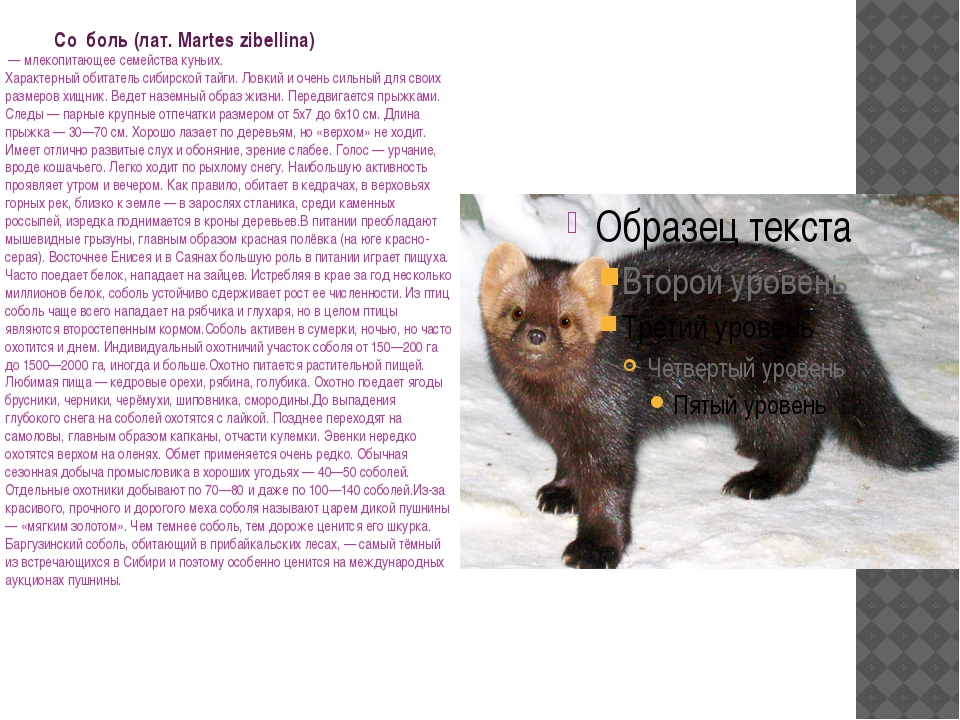 Со́боль (лат. Martes zibellina) — млекопитающее семейства куньих. Характерны...