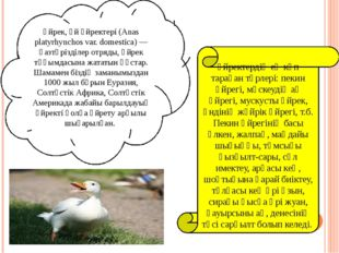 Үйрек, үй үйректері (Anas platyrhynchos var. domestіca) — қазтәрізділер отря