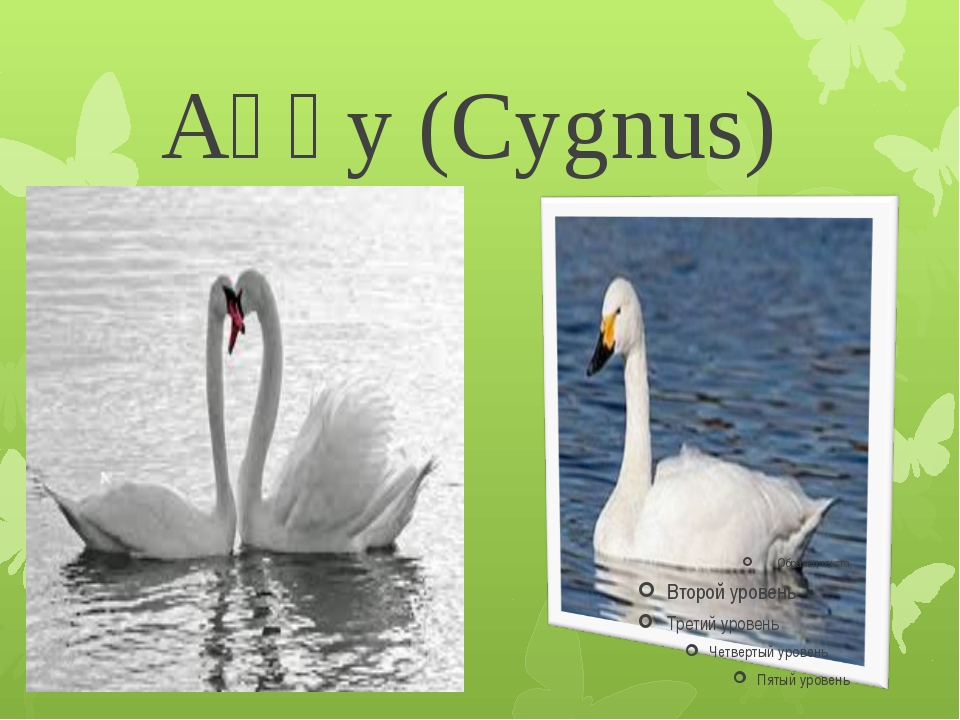 Аққу (Cygnus)