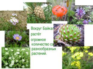 Вокруг Байкала растёт огромное количество самых разнообразных растений.