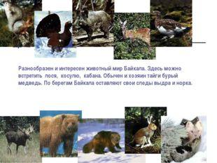 Разнообразен и интересен животный мир Байкала. Здесь можно встретить лося, ко