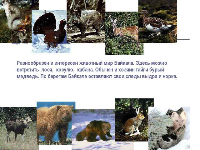 Разнообразен и интересен животный мир Байкала. Здесь можно встретить лося, ко...