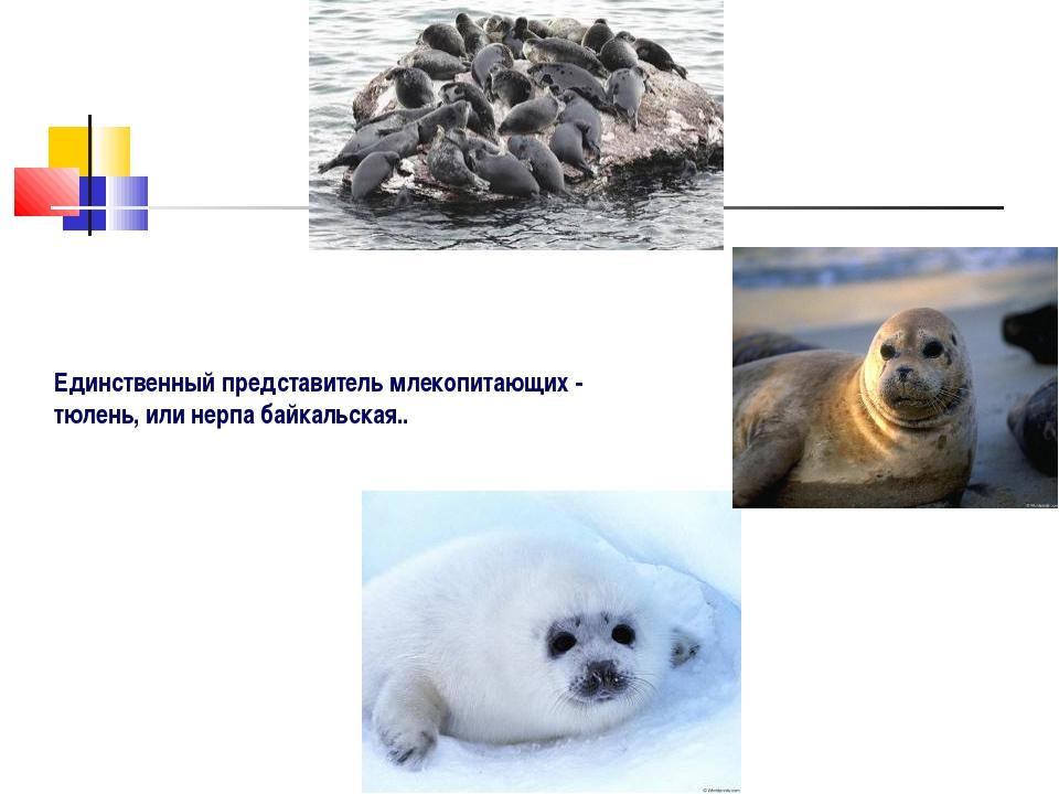 Единственный представитель млекопитающих - тюлень, или нерпа байкальская..