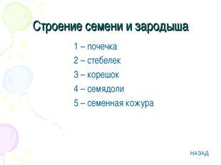 Строение семени и зародыша 1 – почечка 2 – стебелек 3 – корешок 4 – семядоли