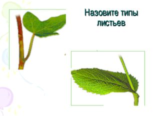 Назовите типы листьев
