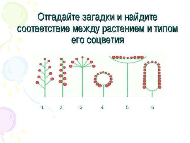Отгадайте загадки и найдите соответствие между растением и типом его соцветия...