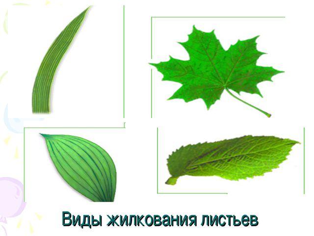 Виды жилкования листьев