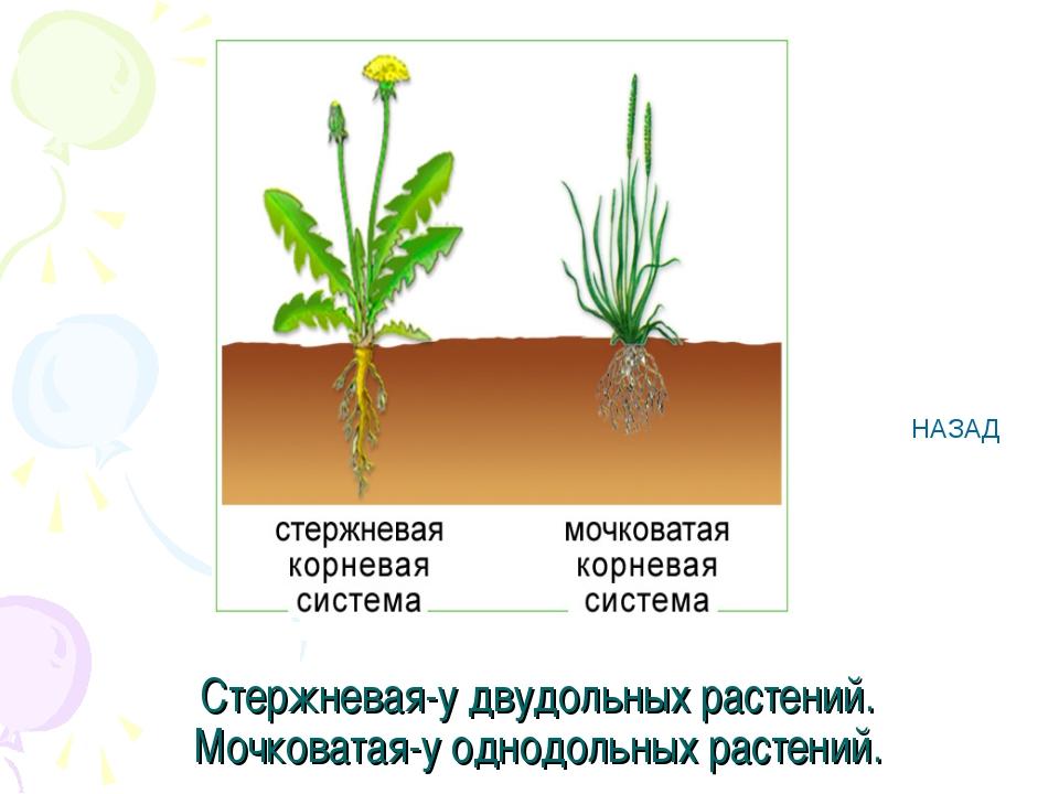 Стержневая-у двудольных растений. Мочковатая-у однодольных растений. НАЗАД