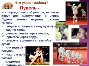 Пудель - эта порода легко обучается, ее часто берут для выступления в цирке.
