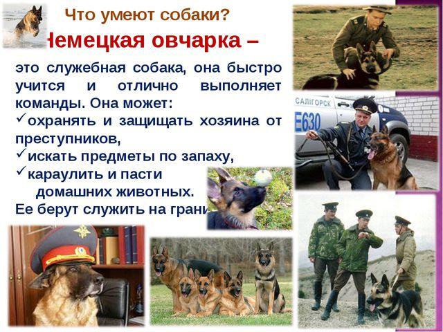 Что умеют собаки? Немецкая овчарка – это служебная собака, она быстро учится...