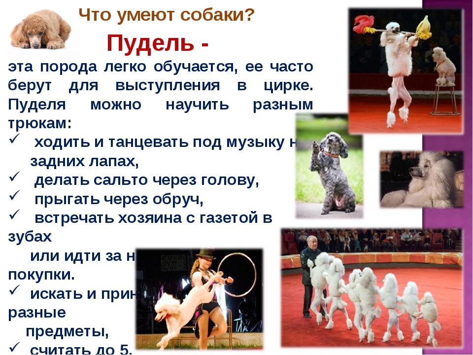 Пудель - эта порода легко обучается, ее часто берут для выступления в цирке....