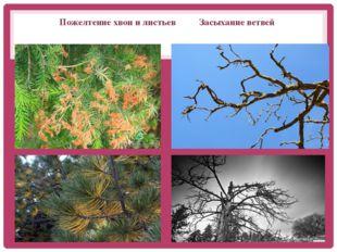 Пожелтение хвои и листьев Засыхание ветвей Засыхание ветвей