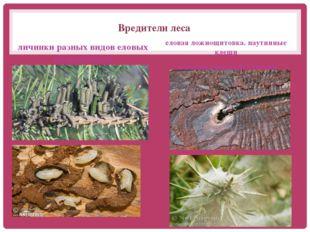 Вредители леса личинки разных видов еловых пилильщиков еловая ложнощитовка. п