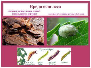 Вредители леса личинок разных видов еловых пилильщиков, короеды типографигр
