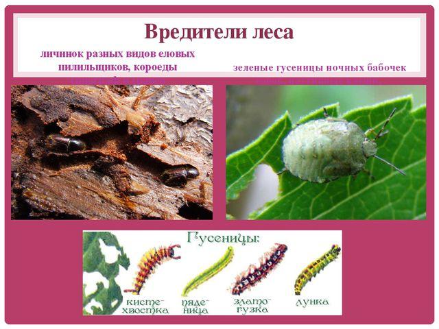 Вредители леса личинок разных видов еловых пилильщиков, короеды типографигр...
