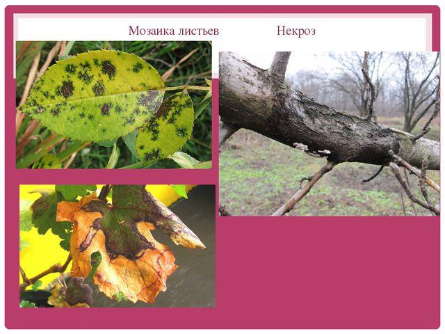Мозаика листьев Некроз Мозаика листьев Некроз