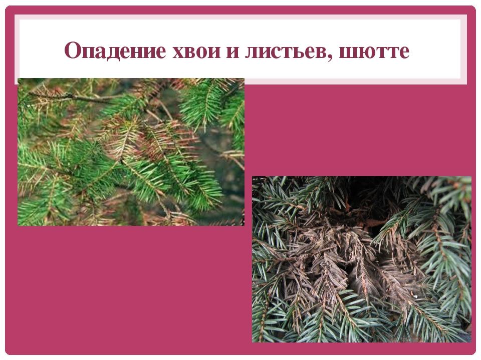 Опадение хвои и листьев, шютте