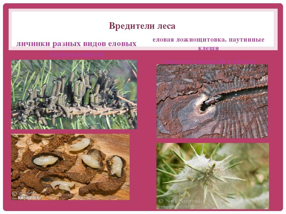 Вредители леса личинки разных видов еловых пилильщиков еловая ложнощитовка. п...