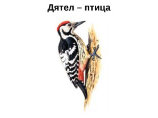 Дятел – птица