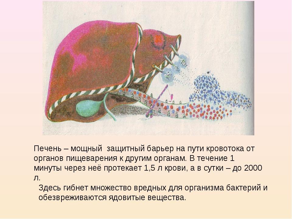 Печень – мощный защитный барьер на пути кровотока от органов пищеварения к др...