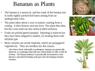 Bananas as Plants The banana is a monocot, and the trunk of the banana tree i