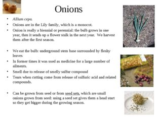 Onions Allium cepa. Onions are in the Lily family, which is a monocot. Onion