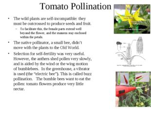 Tomato Pollination The wild plants are self-incompatible: they must be outcro