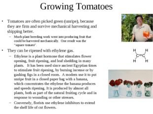Growing Tomatoes Tomatoes are often picked green (unripe), because they are f