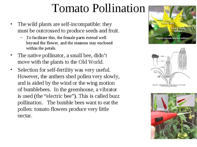 Tomato Pollination The wild plants are self-incompatible: they must be outcro...