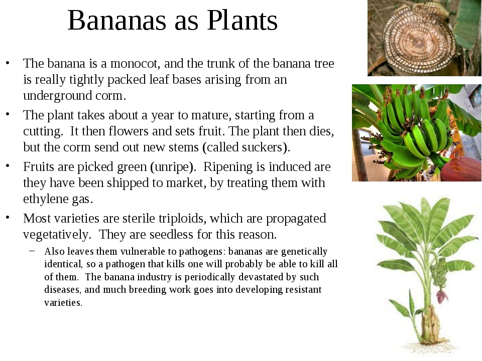 Bananas as Plants The banana is a monocot, and the trunk of the banana tree i...