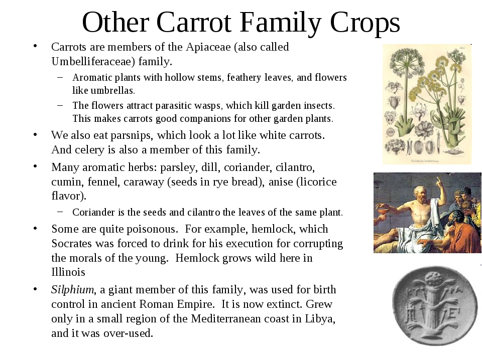 Other Carrot Family Crops Carrots are members of the Apiaceae (also called Um...
