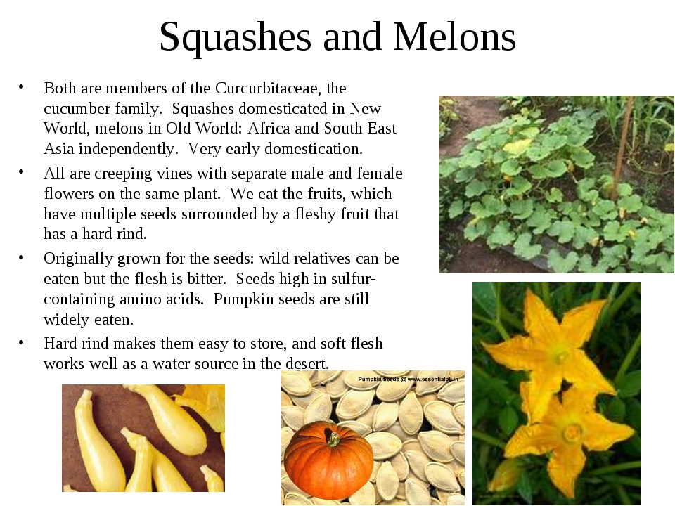 Squashes and Melons Both are members of the Curcurbitaceae, the cucumber fami...