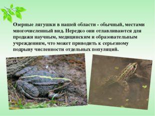 Озерные лягушки в нашей области - обычный, местами многочисленный вид. Нередк