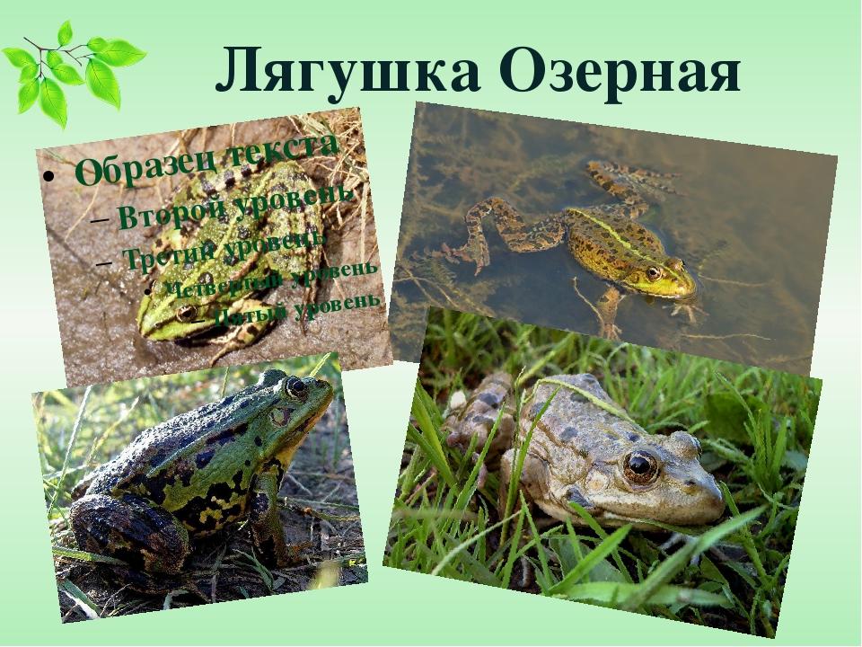 Лягушка Озерная