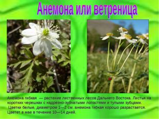 Анемона гибкая — растение лиственных лесов Дальнего Востока. Листья на корот