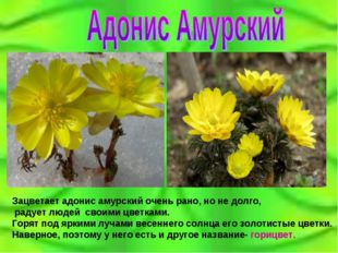 Зацветает адонис амурский очень рано, но не долго, радует людей своими цветка