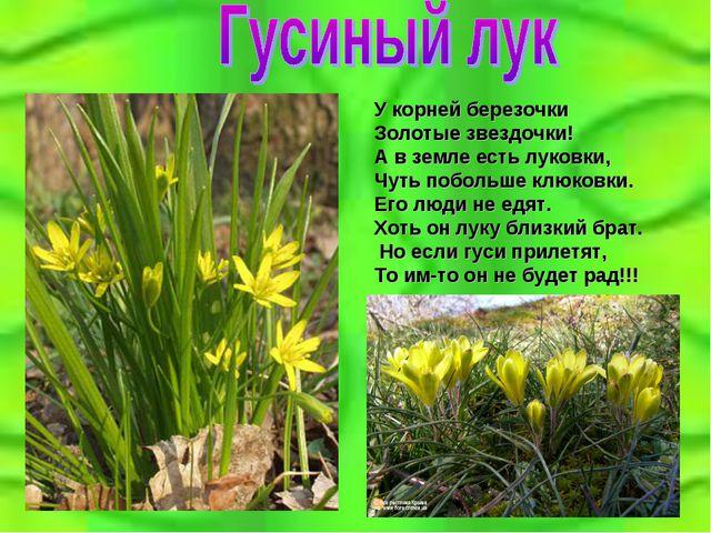 У корней березочки Золотые звездочки! А в земле есть луковки, Чуть побольше к...