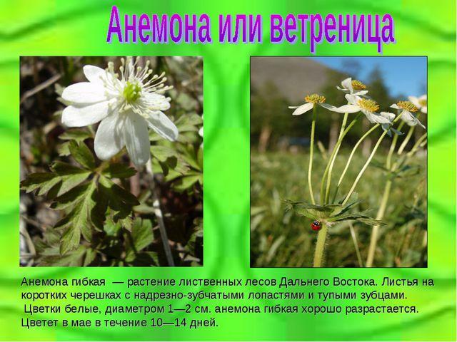 Анемона гибкая — растение лиственных лесов Дальнего Востока. Листья на корот...