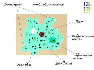 ? ? ? ? ? ? Ложноножки Амеба обыкновенная Оболочка Цитоплазма Ядро Сократител