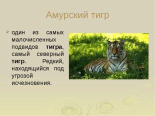 Амурский тигр один из самых малочисленных подвидов тигра, самый северный тиг
