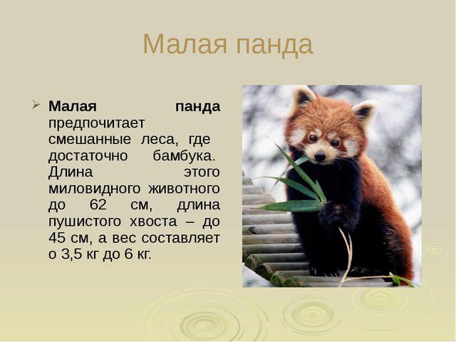 Малая панда Малая панда предпочитает смешанные леса, где достаточно бамбука....