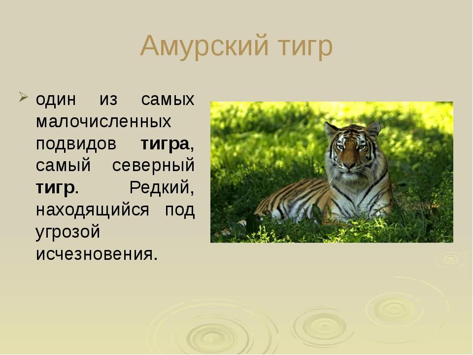 Амурский тигр один из самых малочисленных подвидов тигра, самый северный тиг...