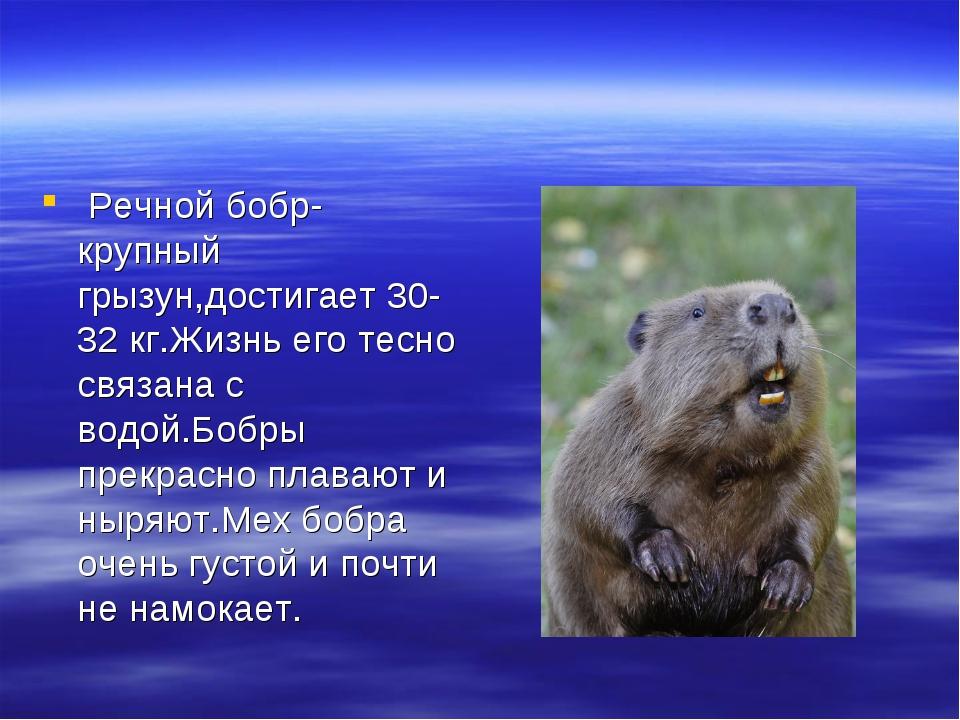 Речной бобр-крупный грызун,достигает 30-32 кг.Жизнь его тесно связана с водо...