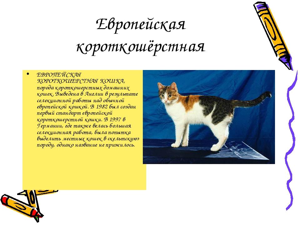 Европейская короткошёрстная ЕВРОПЕЙСКАЯ КОРОТКОШЕРСТНАЯ КОШКА, порода коротко...