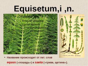 Equisetum,i ,n. Название происходит от лат. слов equus(«лошадь») иsaeta(«