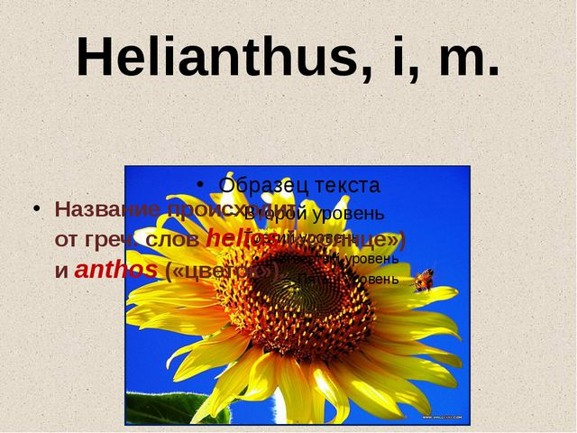 Helianthus, i, m. Название происходит отгреч.словhelios(«солнце») иantho...