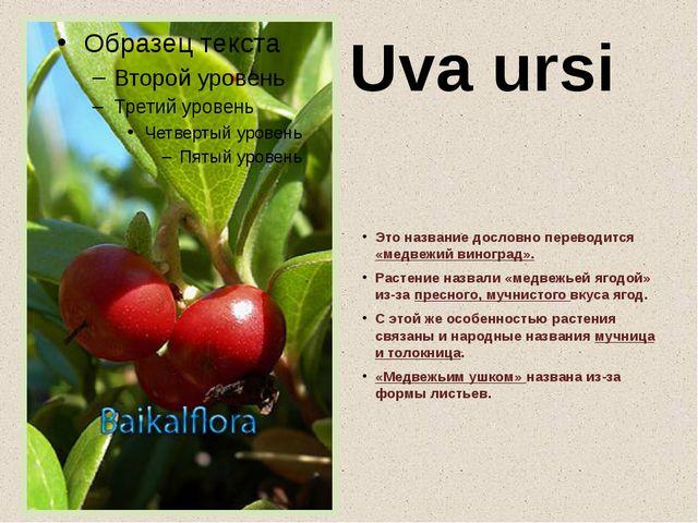 Uva ursi Это название дословно переводится «медвежий виноград». Растение назв...