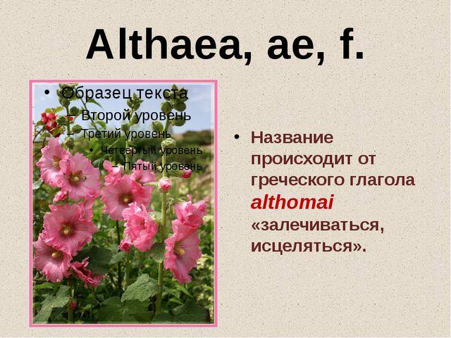 Althaea, ae, f. Название происходит от греческого глагола althomai «залечиват...