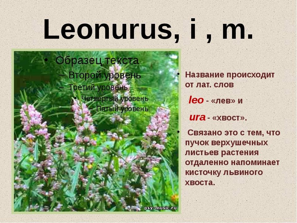 Leonurus, i , m. Название происходит от лат. cлов leo - «лев» и ura - «хвост»...